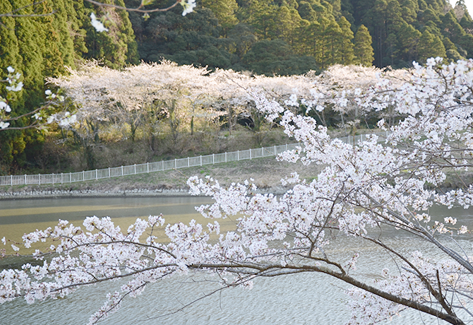 一宮町洞庭湖の桜